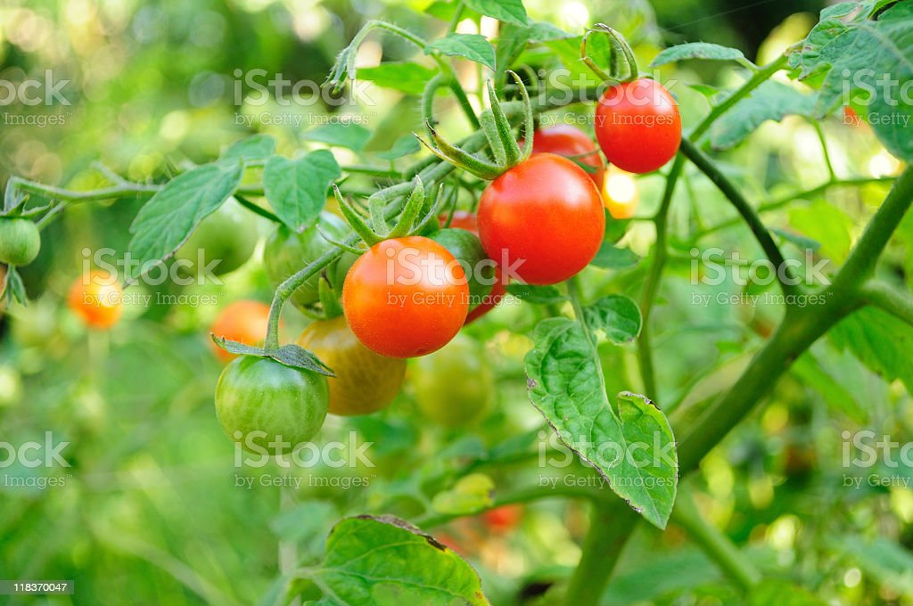 Close-up of cherry tomatoes hanging on the plant stock photo
