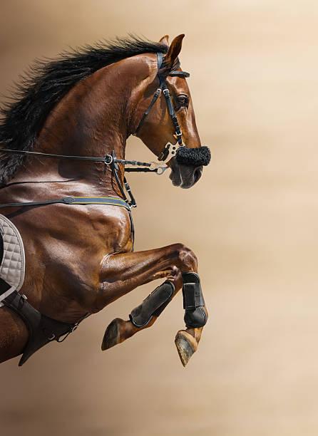 close-up of chestnut jumping horse in a hackamore - hästhoppning bildbanksfoton och bilder