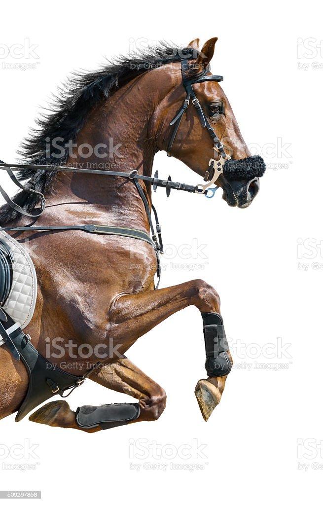 Nahaufnahme von Kastanie Pferd springen in Hackamore. Isoliert auf Weiß – Foto