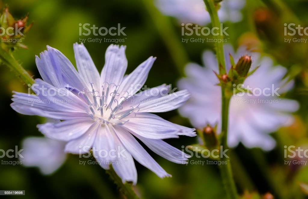 Close-up of chicory flower in the meadow lit by the summer evening sun stock photo