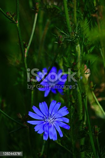 Bavaria, Germany. Close-up of  a chicory meadow flowerat a Wild flower meadow.