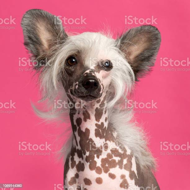 Closeup of chinese crested dog in front of pink background picture id1069144360?b=1&k=6&m=1069144360&s=612x612&h=brvlrbpgmc2pkkgd2t5jbk mt2a rst4fdidtkoveww=