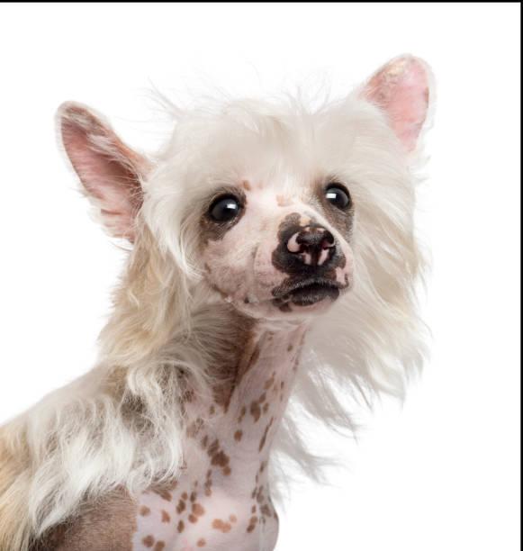 nahaufnahme des chinese crested dog wegschauen vor weißem hintergrund - chinesische schopfhunde stock-fotos und bilder