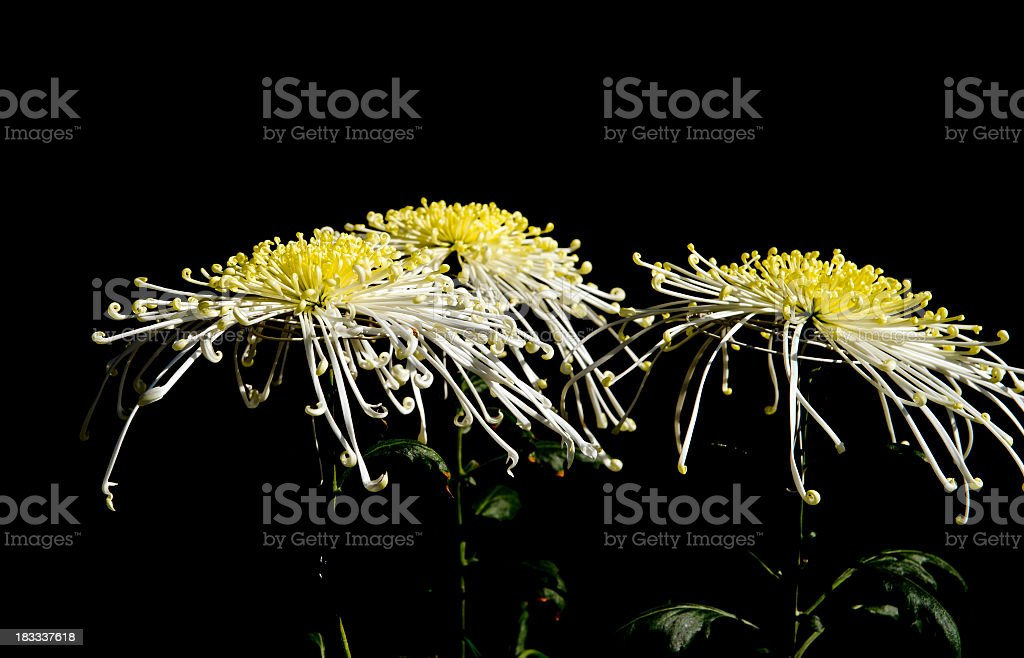 Close-up of chrysanthemum flowers isolated on black stock photo