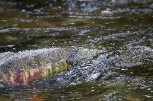 istock Close-up of chum salmon swimming upstream during the salmon run in Goldstream River 1073838676