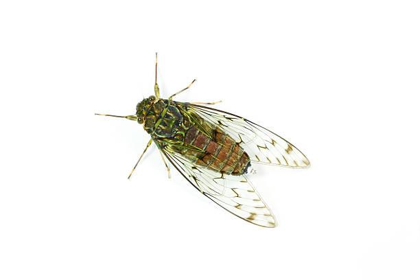 Close-up of cicada isolated on white background stock photo