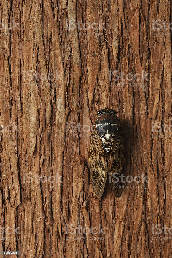 Close-up of Cicada on tree with copy space royalty-free stock photo