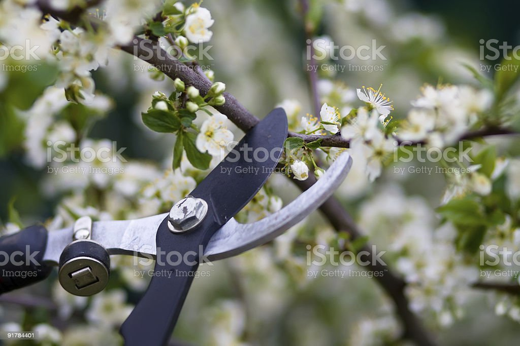 Close-up of clippers pruning flowering bushes stock photo