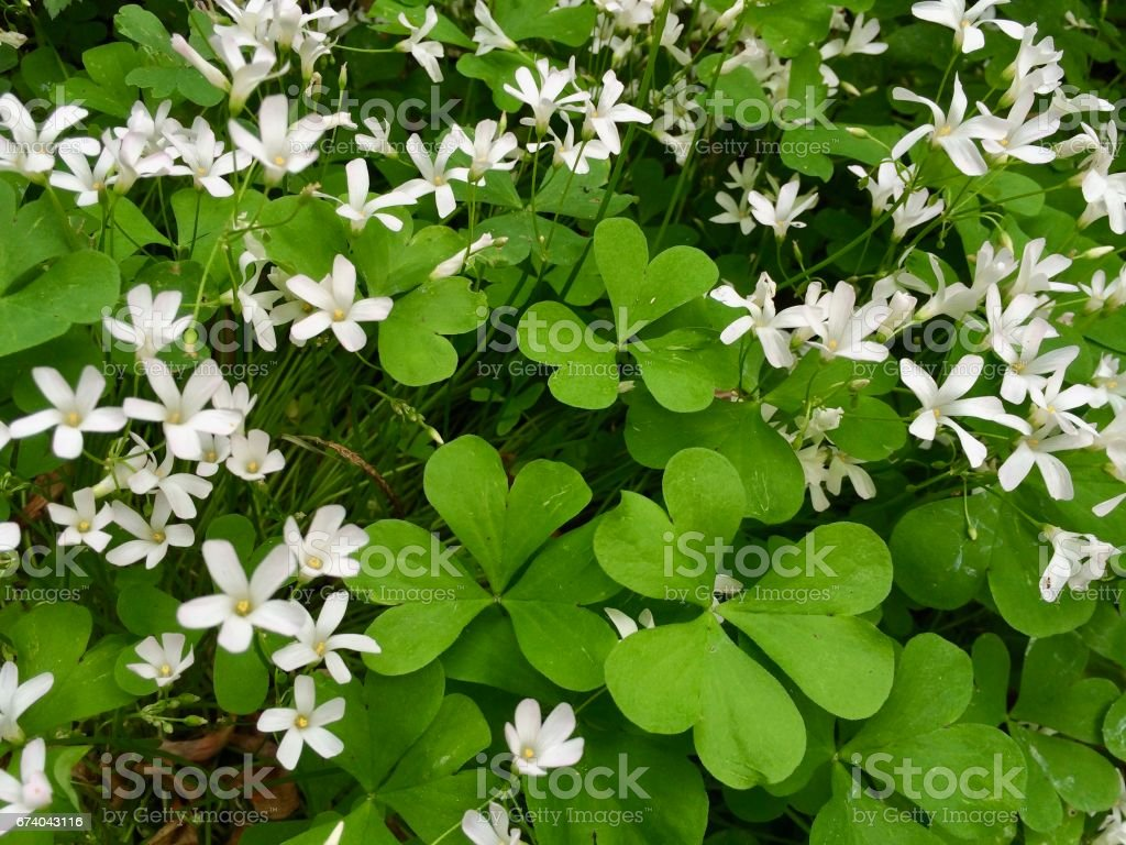 Closeup of clovers with white flowers royalty-free stock photo