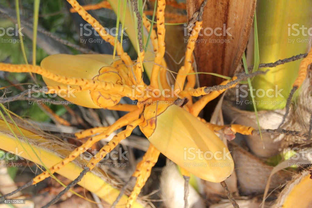 Close-Up Of Coconut Flower and Fruit Buds, Cocos nucifera, Zanzibar, Tanzania, Africa stock photo