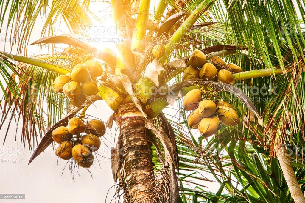 Nahaufnahme von Kokosnuss-Palme mit Kokosnüssen – Foto