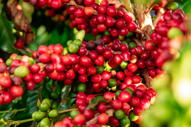Closeup of coffee fruit in coffee farm and plantations in Brazil. Closeup of coffee fruit in coffee farm and plantations in Brazil crop plant stock pictures, royalty-free photos & images