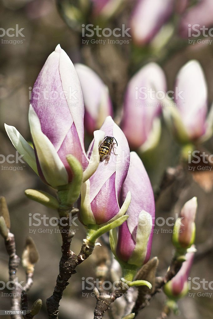 Close-up of color magnolia flowers royalty-free stock photo