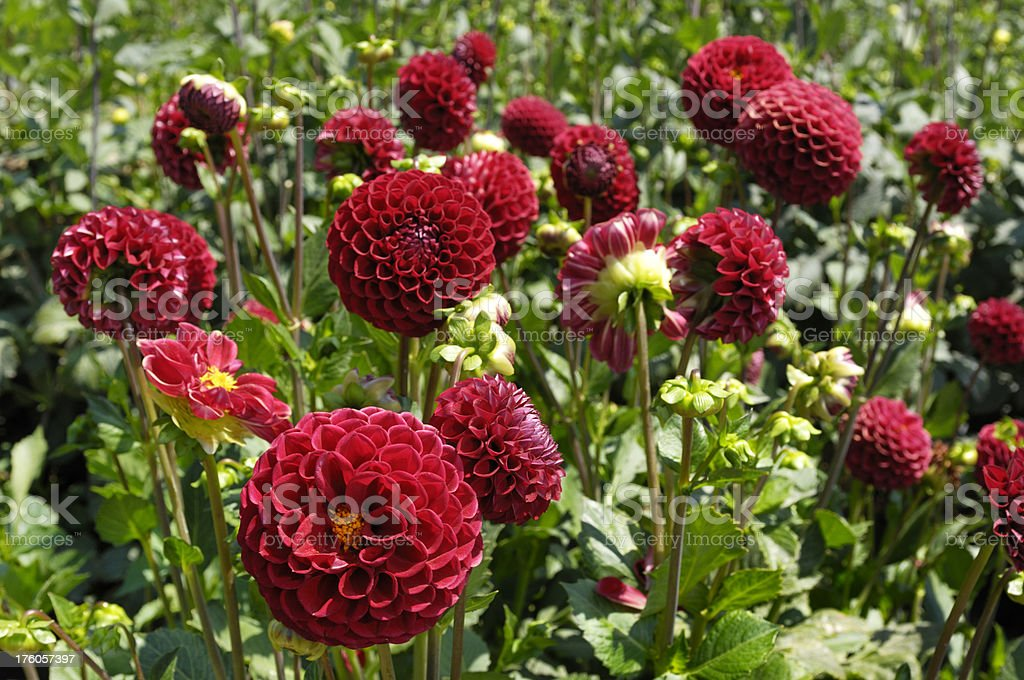 Close-up of Colorful Dahlia Flowers royalty-free stock photo