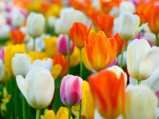 Close-up of colourful tulip flowers stock photo