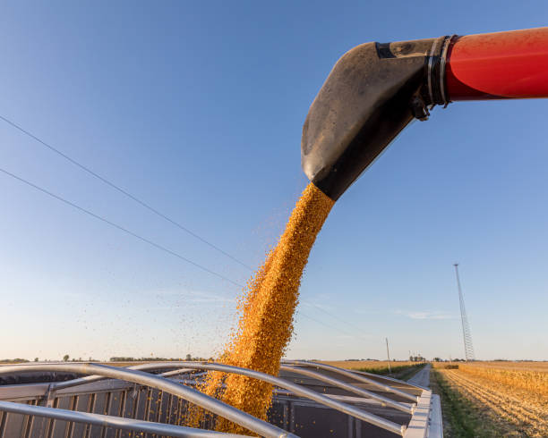 Closeup of combine harvester auger unloading harvested corn kernels into grain truck parked on road beside farm field. Sunny fall evening as 2019 harvest season begins late in central Illinois stock photo