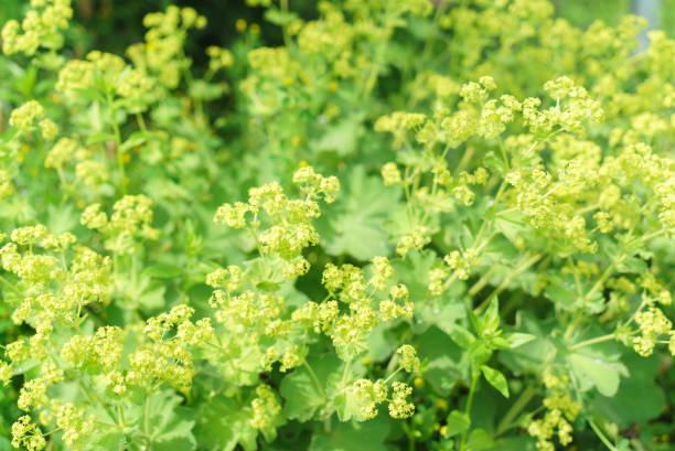 closeup of common a mantle flowers ( alchemilla mollis) - przywrotnik zdjęcia i obrazy z banku zdjęć