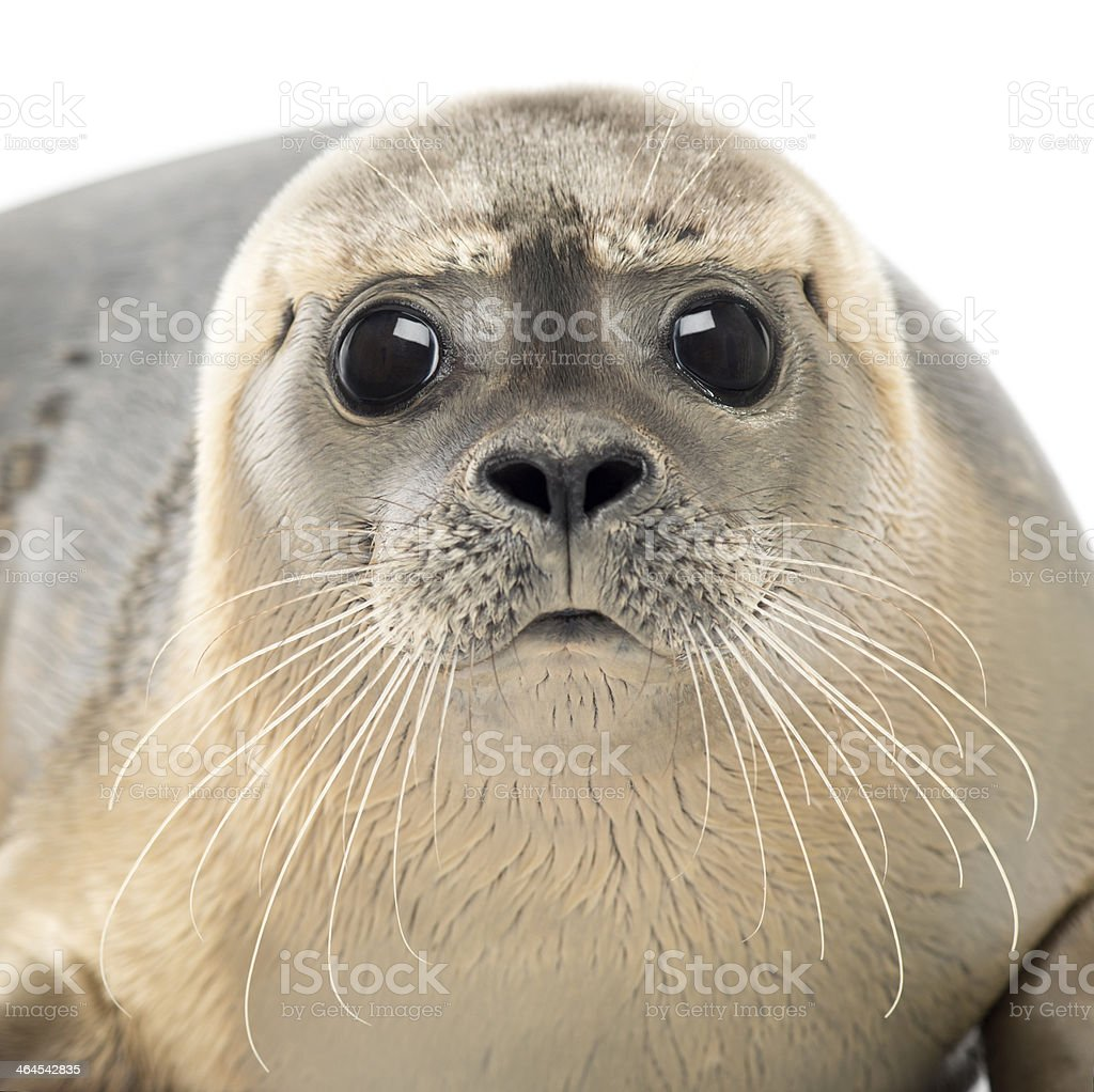 Close-up of Common seal looking at the camera, Phoca vitulina stock photo
