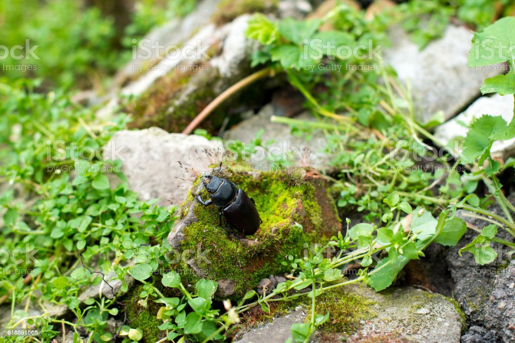 Closeup of common stag beetle female (Lucanus cervus) in natural habitat stock photo