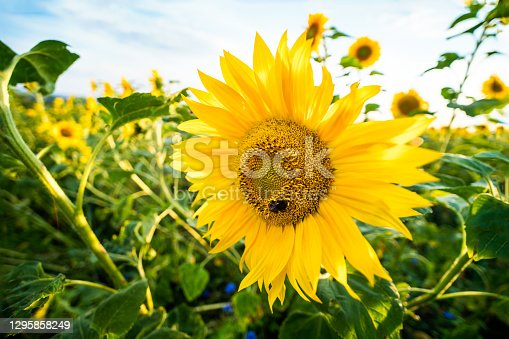 Blooming flower head with bee in center and beautiful yellow petals. Flowering tall herb and green leaves in rural field