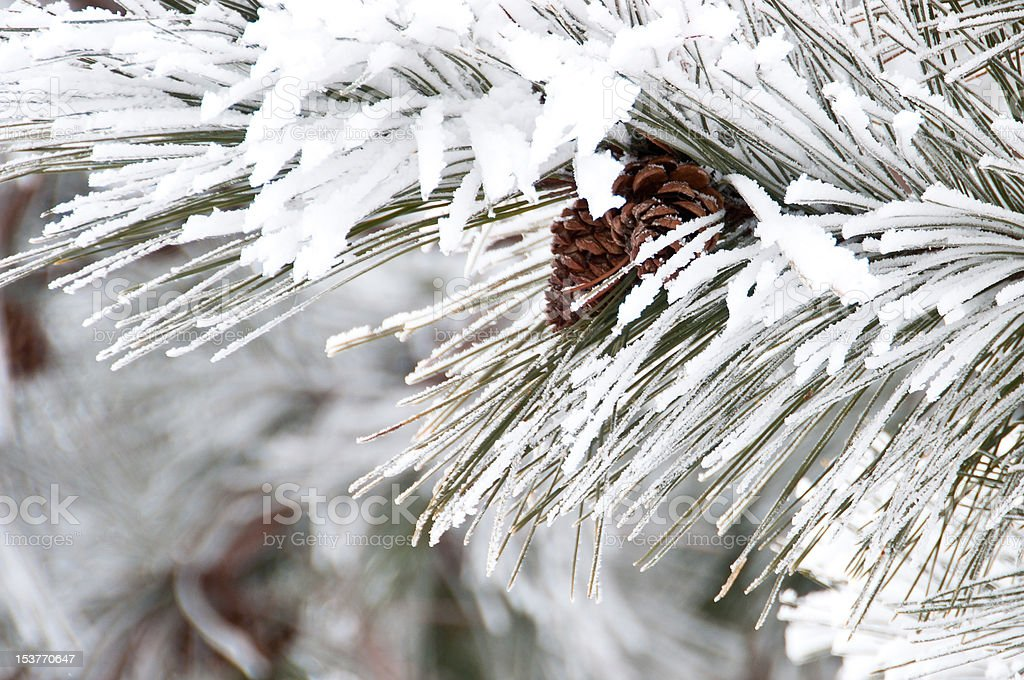 Close-up of conifer branch with two cones, snow covered stock photo