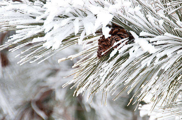 Close-up of conifer branch with two cones, snow covered