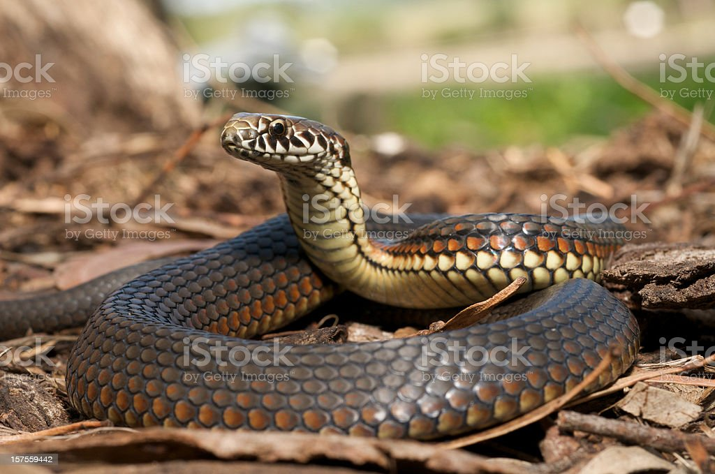 Close-up of copperhead snake in the leaves stock photo