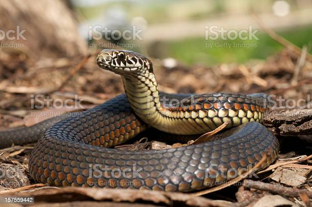 A venomous and dangerous copperhead snake from Australia - photographed completely in the wild
