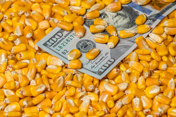 Closeup of corn kernels covering United States of America 100 dollar bill. Concept of grain commodity market prices, tariffs, and trade war stock photo