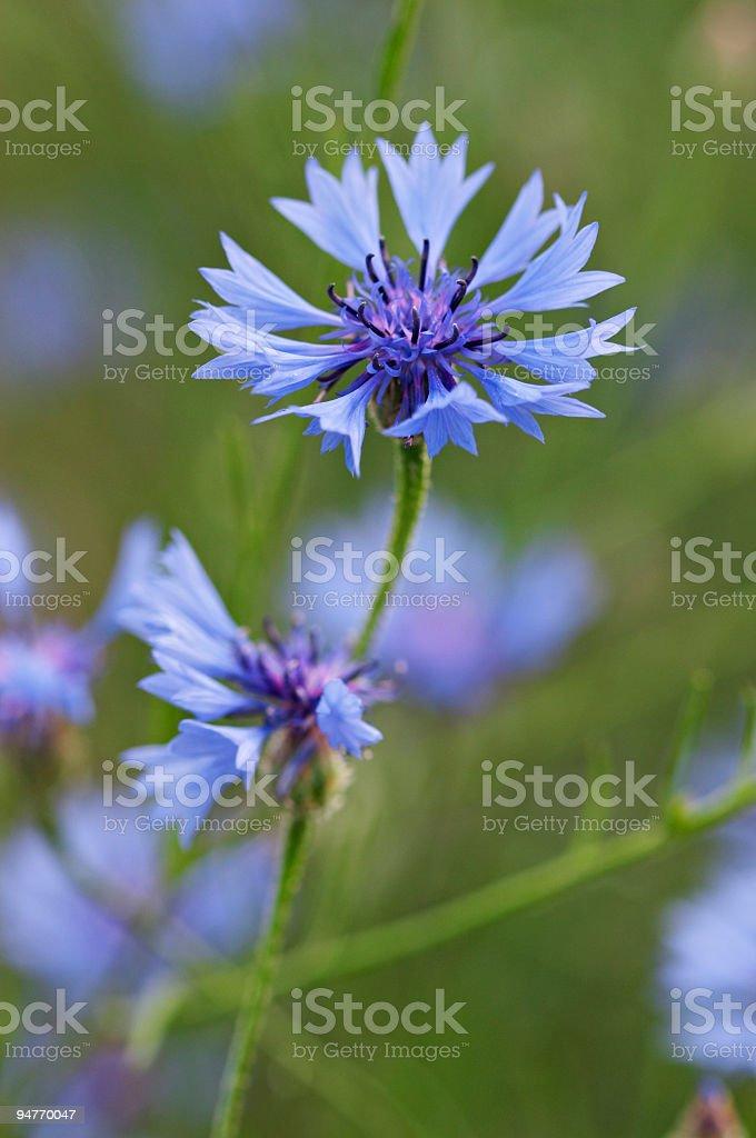 Closeup of cornflower stock photo