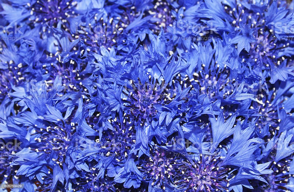 Closeup of cornflowers stock photo