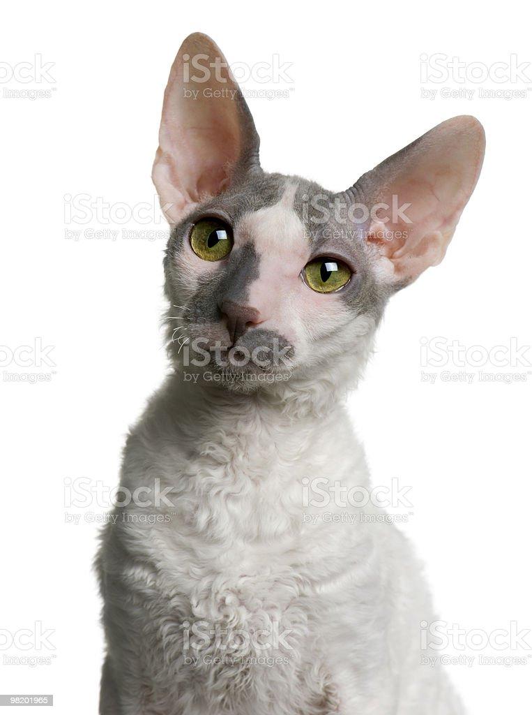 Close-up of Cornish rex kitten, looking away royalty-free stock photo