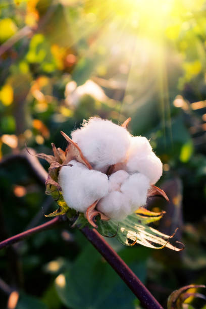 närbild av bomullstuss i solen - cotton growing bildbanksfoton och bilder