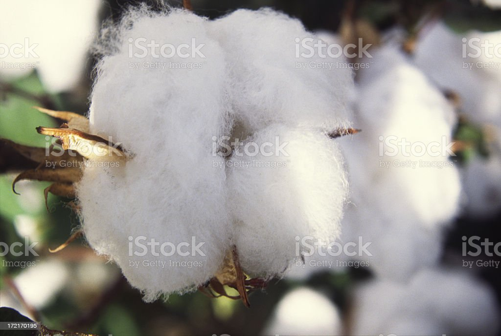 Close-up of cotton royalty-free stock photo