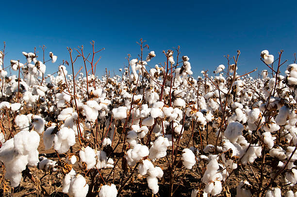 Close-up of cotton plants in a field stock photo