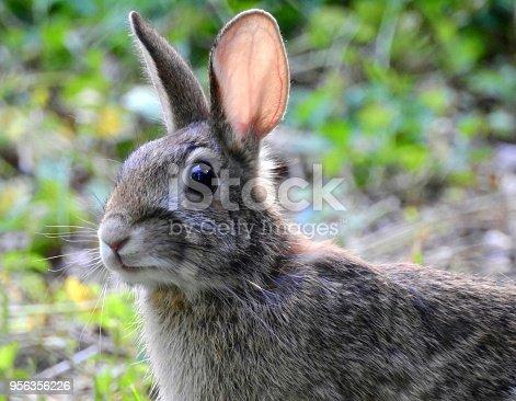 Closeup of Cottontail Rabbit