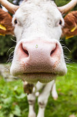 istock Close-up of cow head 934836770