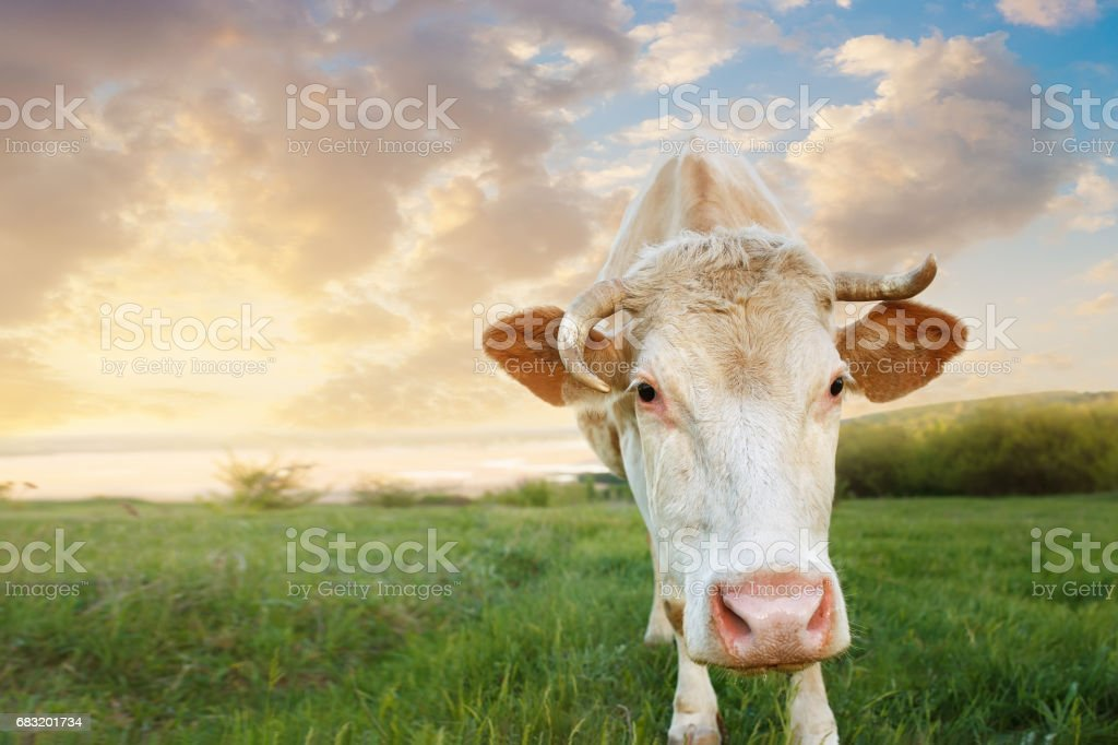 closeup of cow muzzle royalty-free stock photo