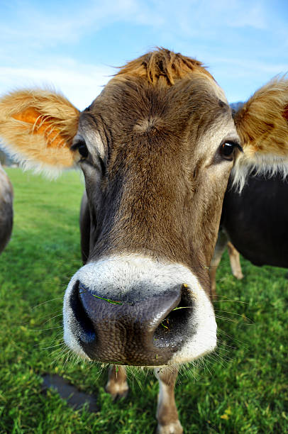 Closeup of cow on the meadow stock photo