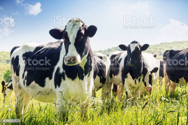 Closeup Of Cows In Summer Stock Photo - Download Image Now