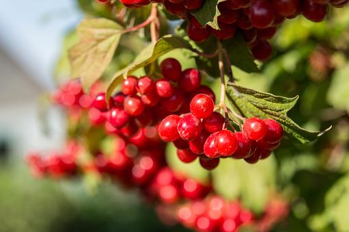Closeup of Cranberry ripe on a bush.