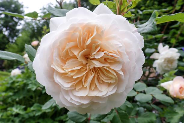 Closeup of crocus rose picture id972176608?b=1&k=6&m=972176608&s=612x612&w=0&h=yxykqo6ksooe2n3p yti3cis0op2advw1ld2wvw63pa=
