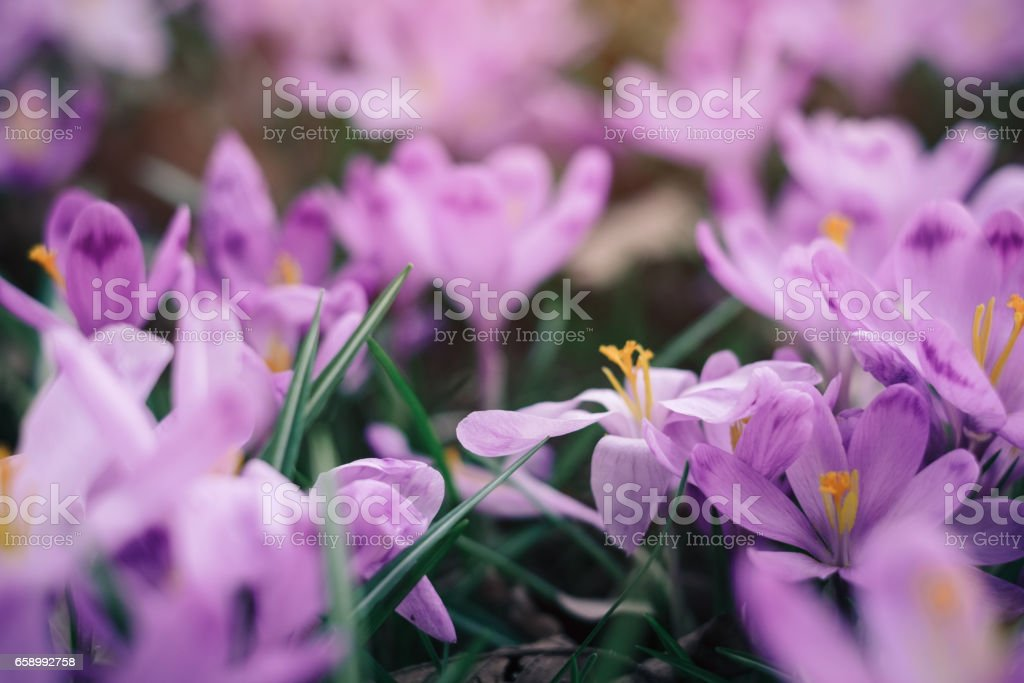 Closeup of crocuses spring flowers in the forest royalty-free stock photo