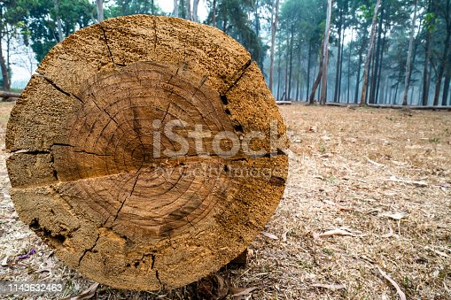Close-up of cross section of tree trunk with details of annual ring on the surface in pine tree forest.