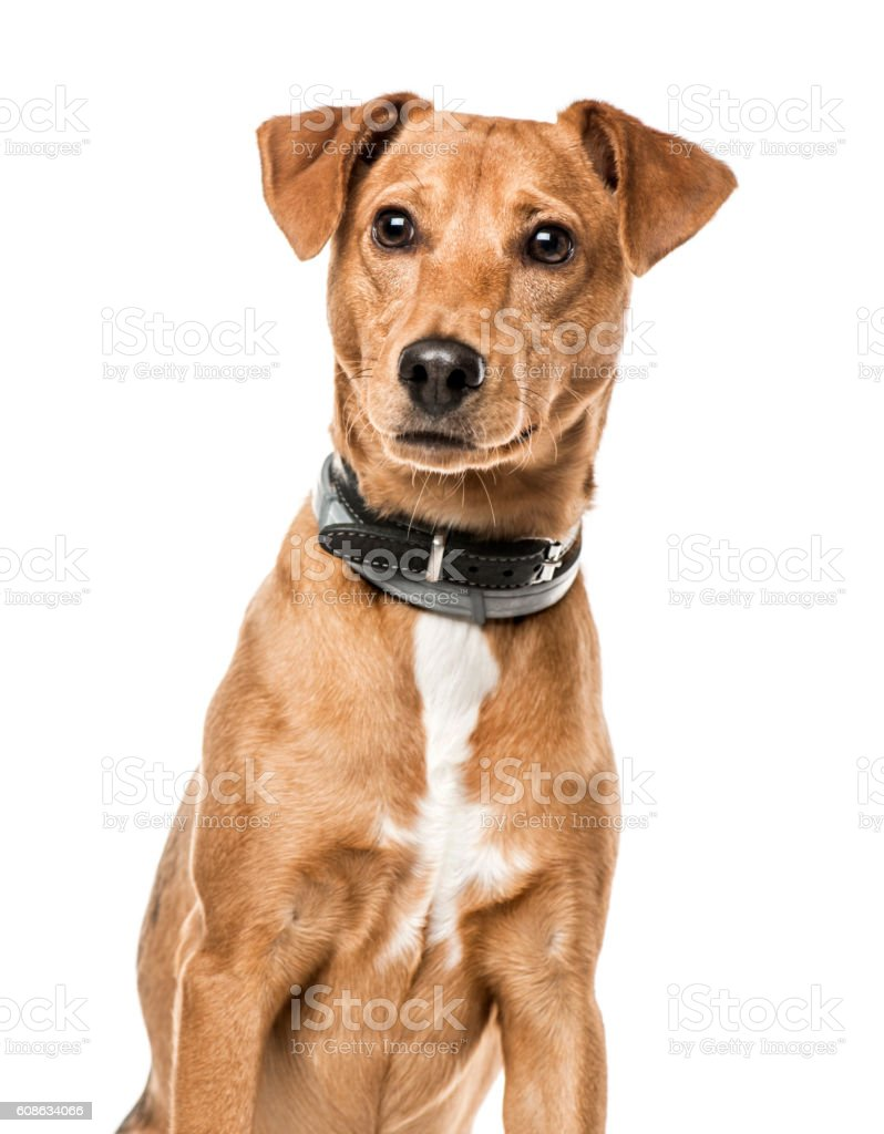 Close-up of Cross-breed dog, 11 months old, isolated on white 스톡 사진
