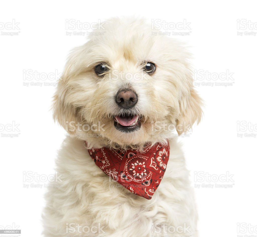 Close-up of Crossbreed dog wearing a red bandana, panting stock photo
