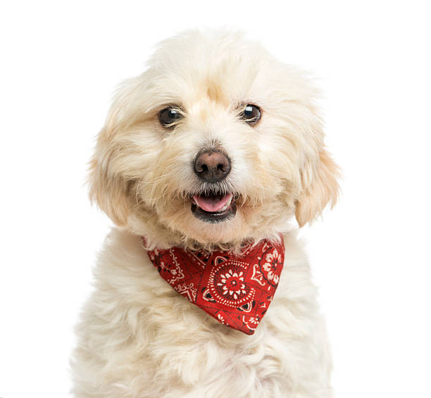 Close-up of Crossbreed dog wearing a red bandana, panting stock photo