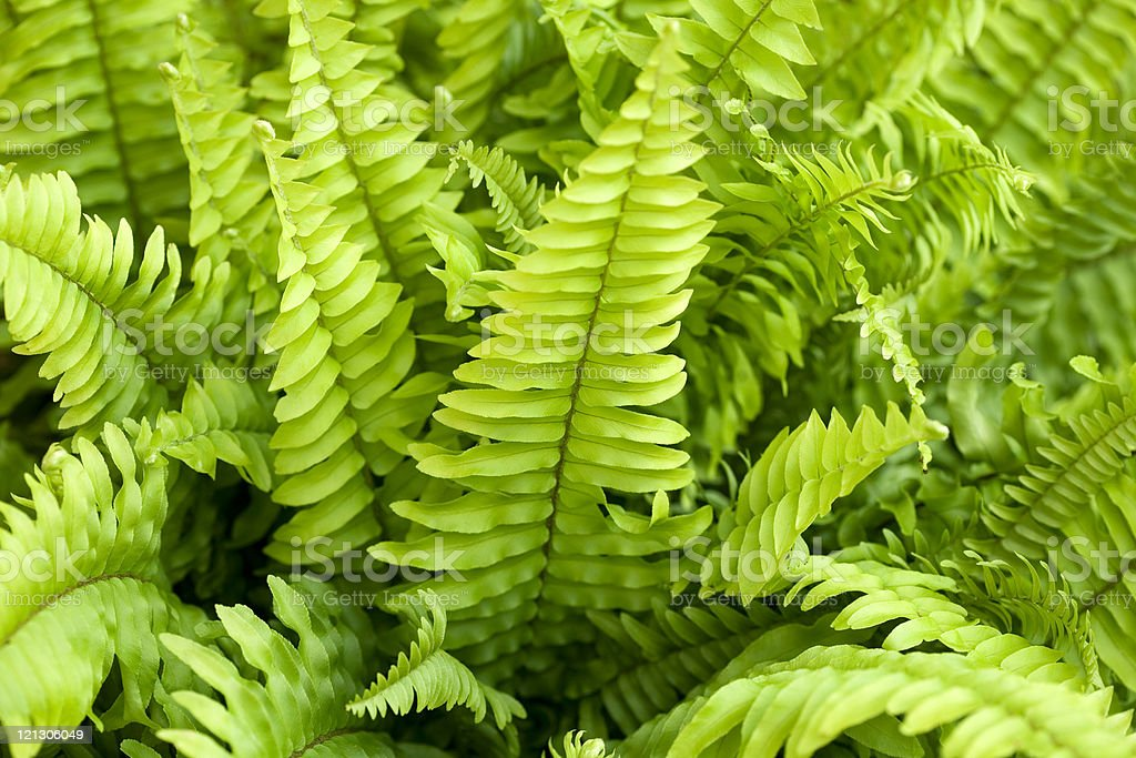 Close-up of cultivated green fern background royalty-free stock photo