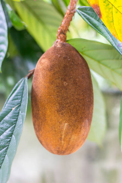 Close-up of cupuacu fruit. Typical amazon fruit theobroma stock pictures, royalty-free photos & images