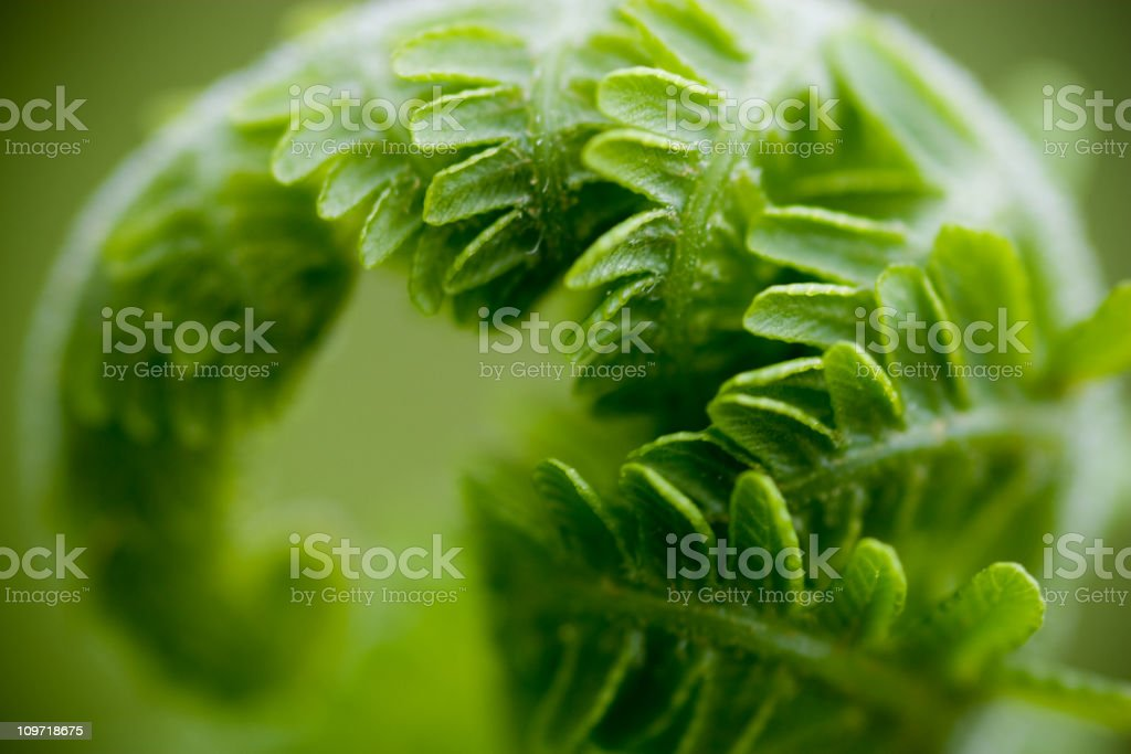 Close-Up of Curled Fern Leaf royalty-free stock photo